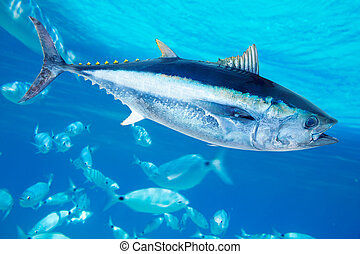 thynnus, thunnus, fish, bluefin, 塩水, マグロ