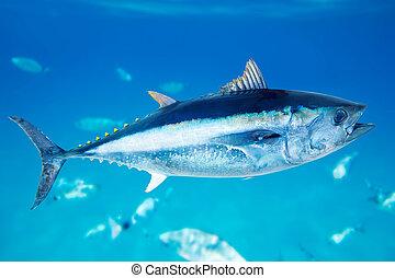thynnus, thunnus, pez, bluefin, agua salada, atún