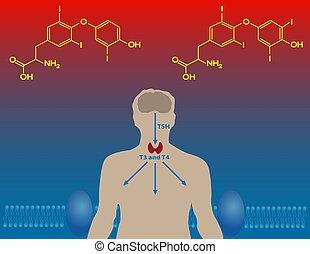 thyroïde, hormones
