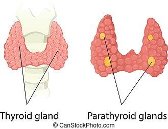 Thyroid and Parathyroid glands anatomy vector illustration