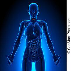 Thyroid - Female Organs - Human Anatomy