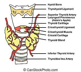 Thyroid Gland Anatomical Structure and Arteries Supply...