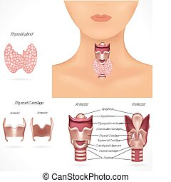 Detailed anatomy of thyroid gland