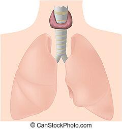 Thyroid gland, eps10 - Anatomy of human thyroid gland