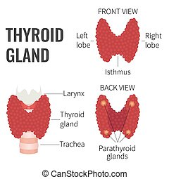 Thyroid gland diagram - Thyroid gland front and back view on...