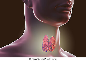 the largest endocrine gland
