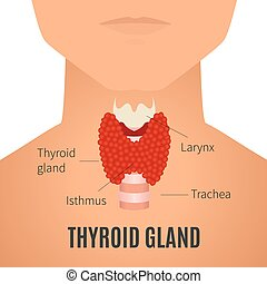 Thyroid gland on a man silhouette - Thyroid gland diagram....