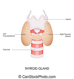 Thyroid Gland - vector illustration of diagram of thyroid...