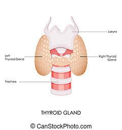 Thyroid Gland - vector illustration of diagram of thyroid ...