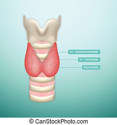 Thyroid Hormone Secretion. Endocrinology System. Vector...