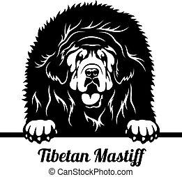 tibétain, tête, isolé, mastiff, jeter coup oeil, chien, -, blanc
