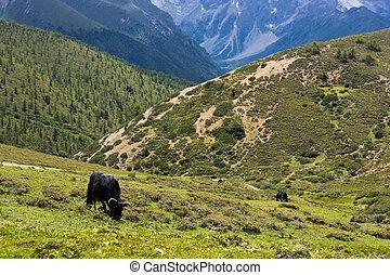tibetan, altiplanos, (2), pastar, yak