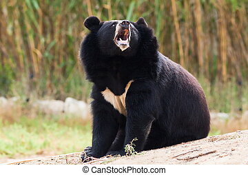 Tibetan bear howling - tibetan bear howling in nature