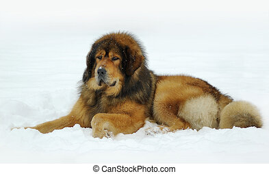 Tibetan mastiff lying on the snow