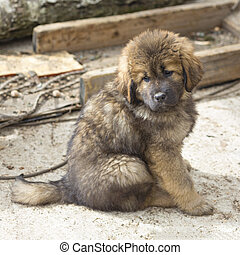 Tibetan Mastiff puppy - Cute puppy Tibetan Mastiff sitting...