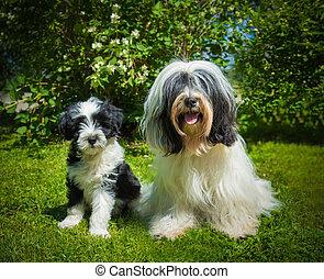 Tibetan Terrier dog and puppy