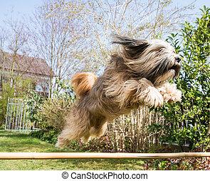 Tibetan Terrier Dog in Action