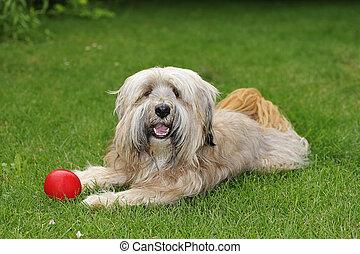 Tibetan Terrier dog - Longhaired purebred Tibetan terrier...