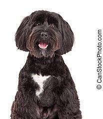 Tibetan Terrier Dog Portrait