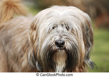 Tibetan Terrier Dog - Portrait of a tibetan terrier dog