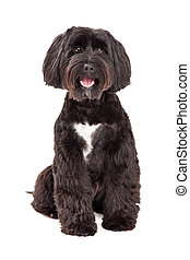 Tibetan Terrier Dog Sitting Looking Into The Camera