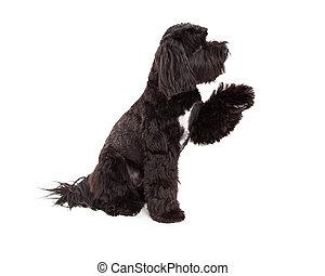 Tibetan Terrier Dog Sitting With Paw Shake