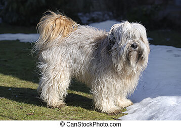 Tibetan Terrier - Longhaired purebred Tibetan terrier dog