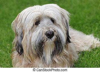 Tibetan Terrier portrait