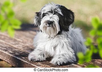 Tibetan terrier Puppy Dog Portrait