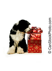 Tibetan terrier puppy isolated on a white background with...