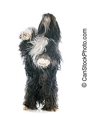 Tibetan terrier upright in front of white background