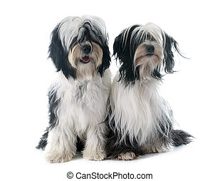 tibetan terriers in front of white background