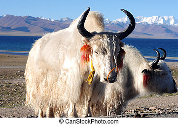 Tibetan white yaks at lakeside