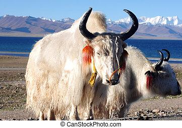 Tibetan white yaks at lakeside