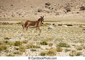 Tibetan wild donkey at highland pasturage