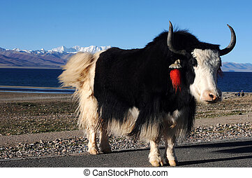 Tibetan yak at lakeside