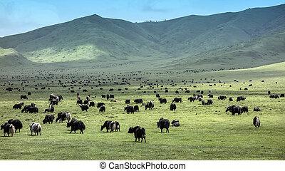 tibetano, yaks