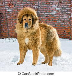 tibetische dogge