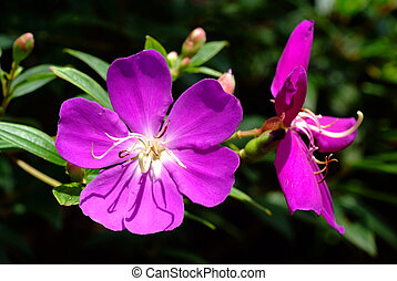 Tibouchina Urvilleana, Purple princess flower