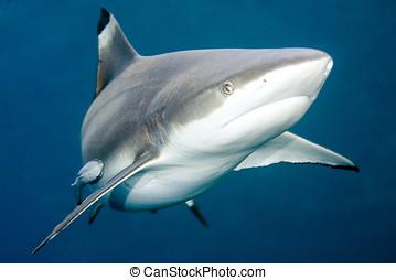 tiburón, blacktip, arrecife