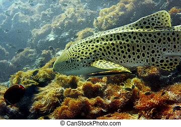 tiburón del leopardo