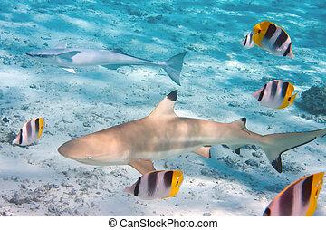tiburón, encima, un, barrera coralina, en, océano