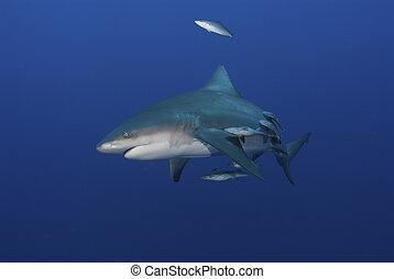 tiburón, frenético, toro