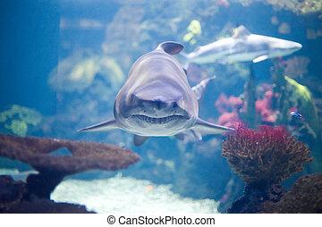 tiburón, gris