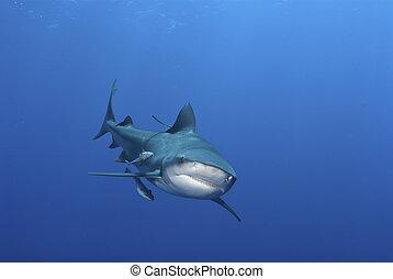tiburón, mueca