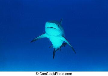 tiburón, toro