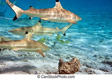 tiburones, encima, barrera coralina, océano