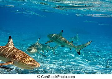 tiburones, encima, un, barrera coralina, en, océano