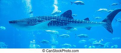 tiburones, gente, acuario, ballena, observar, natación