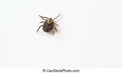 tick family Ixodes crawling on a white paper. - tick family...